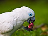 Blue-eyed Cockatoo (cacatua ophthalmica),