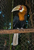 Papuan Wreathed Hornbill (Aceros plicatus).  Marc Mol photography - All rights reserved