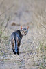 d31_3484 African Wild Cat at dusk @ ISO 3200